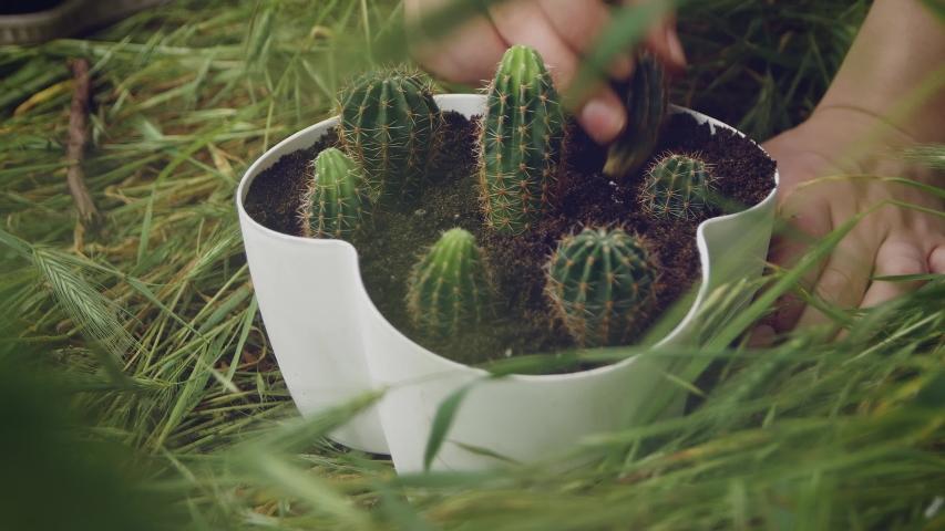 Proper cactus transplanting