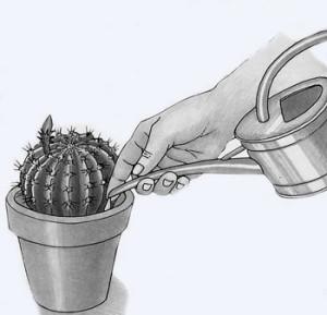 Как поливать кактусы
