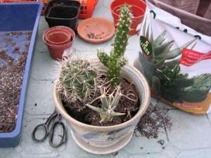 Как сажать кактусы