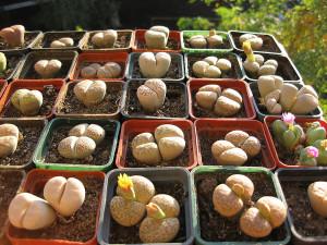 Как вырастить литопсы из семян