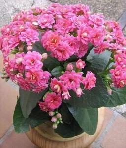 Как вырастить цветущее каланхоэ