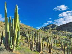 Кактусы Северных областей Чили