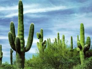 Кактусы Техаса