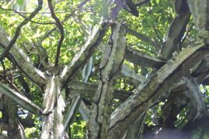 Кактусы бразилии