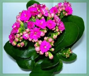 Каланхоэ цветущий