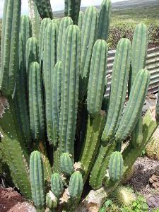 Колонновидными кактусами