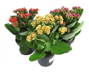 Комнатное растение каланхоэ
