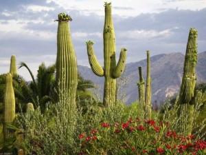 Любопытные факты из жизни кактусов