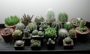 Наиболее распространенные болезни и вредители кактусов
