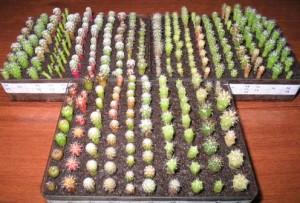 Пикируем кактусы