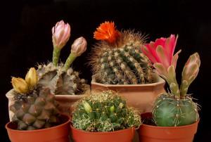 Поливая кактусы, избегайте использовать воду из колодца.