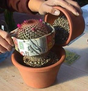 Правильная пересадка кактусов