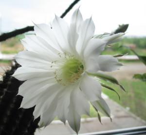 Прекрасный цветок кактуса