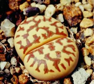 Происхождение растений рода Lithops