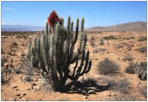 Пустынные и лесные кактусы