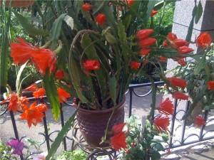 Систематика лесных кактусов