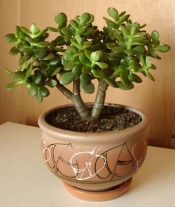 Толстянка - знаменитое денежное дерево