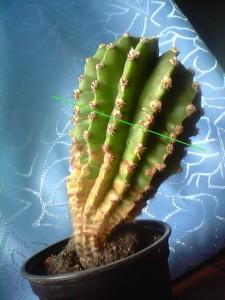 Укоренение кактусов