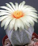 Виды цветущих кактусов