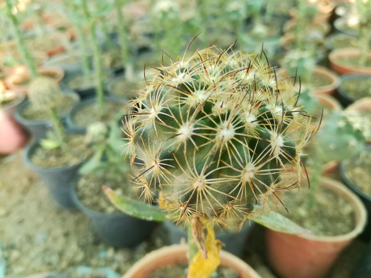 Эхиномастус дурангский (Echinomastus durangensis)