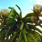 Род кактусов Гилоцереус. Описание видов с фото и видео
