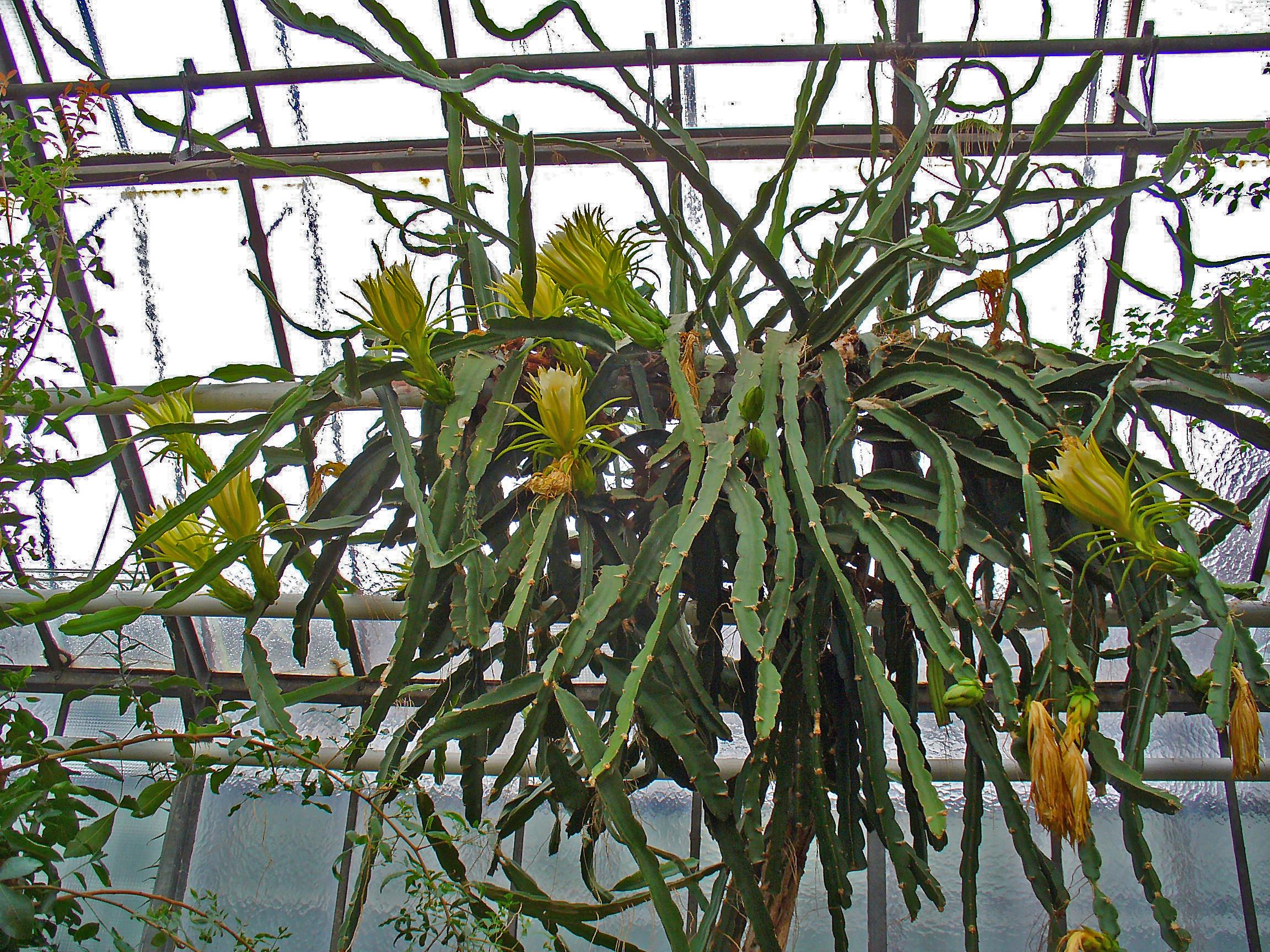 Гилоцереус (Hylocereus ocamponis)