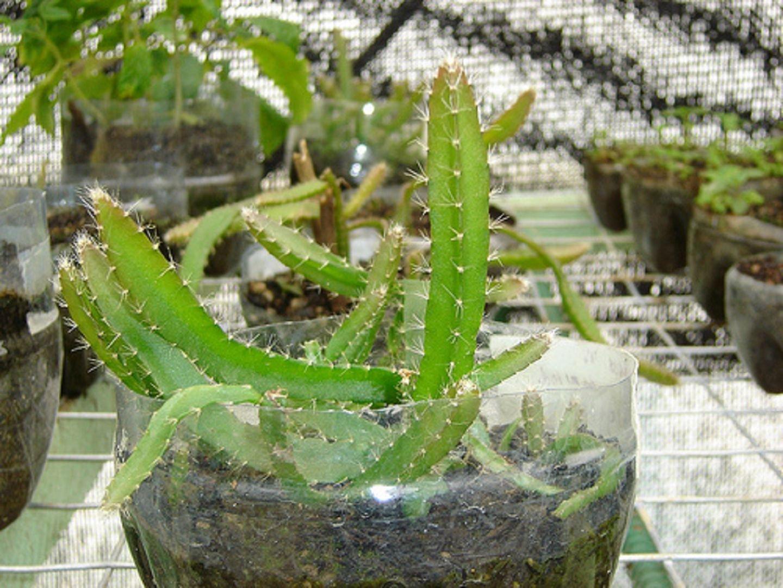 Гилоцереус трехгранный (Hylocereus trigonus)