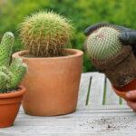 Как пересадить кактус правильно? Видео