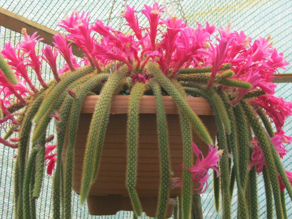 Как выращивать кактус Тарантул