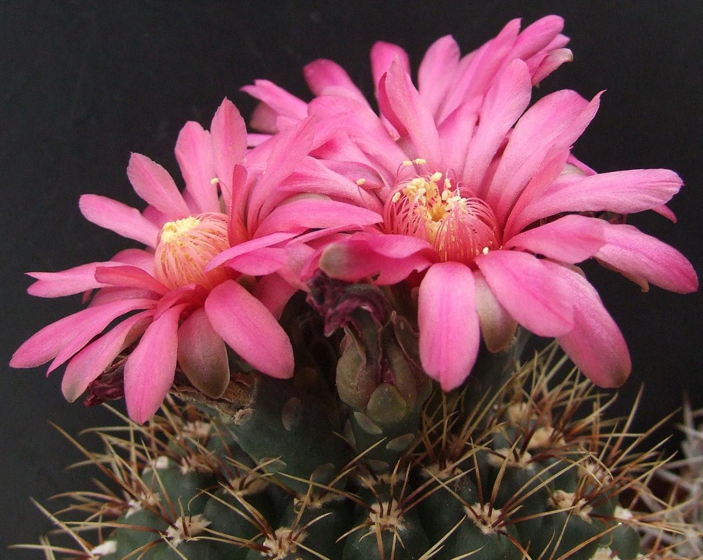 Кактус Гимнокалициум (англ. Chin Cactus)