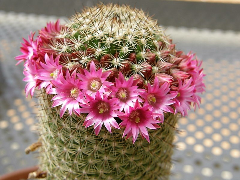 Кактус Маммиллярия (англ. Mammillaria илиPincushion Cactus)