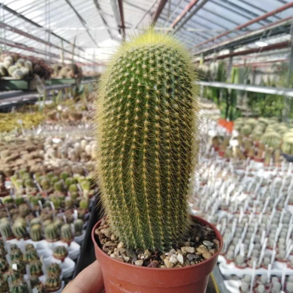 Нотокактус ленингхаузи (Notocactus leninghausii)