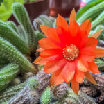 Почему кактус не цветет? Видео
