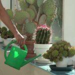 Поливаем кактусы правильно. Полезные советы, видео