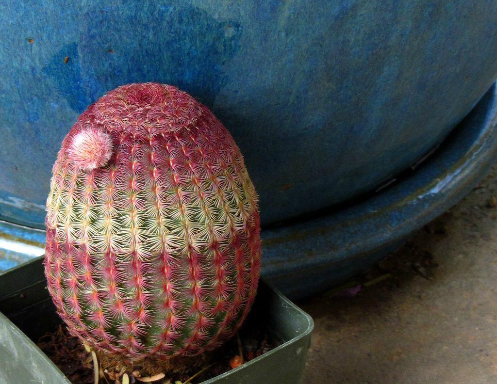 Радужный эхинокактус (англ. Rainbow Hedgehog Cactus)