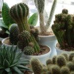 Разновидности домашних кактусов