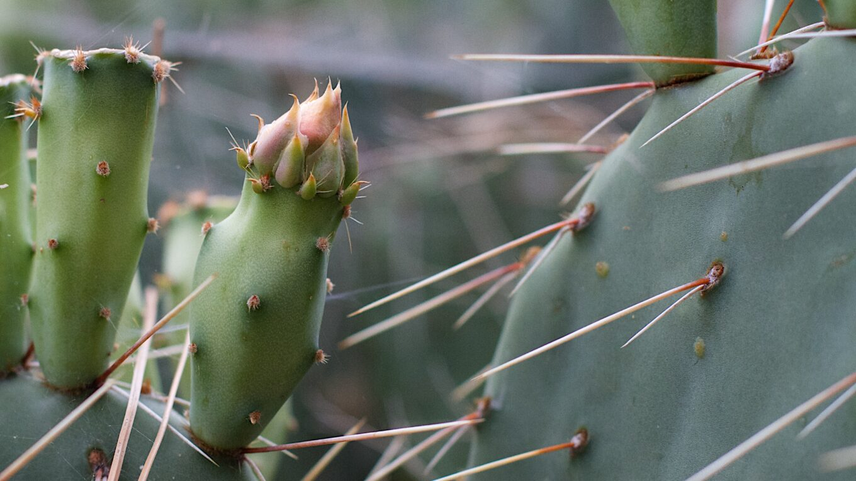 Сортировка колючек кактусов. Особенности