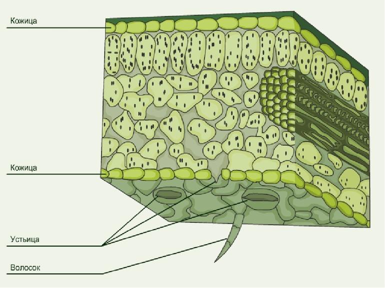 Строение эпидермиса кактуса