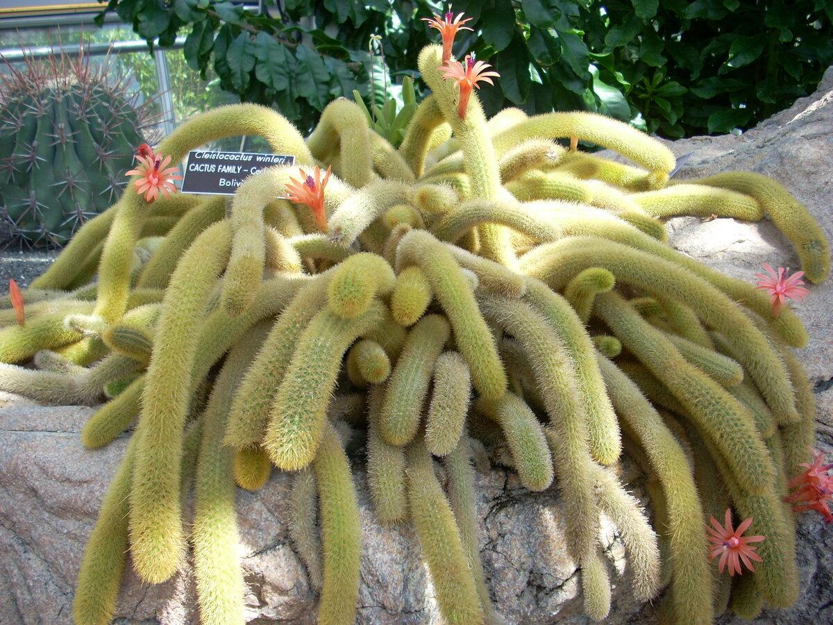 Уход за кактусом Тарантулом