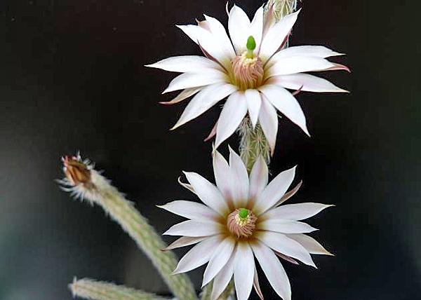 Вилкоксия белоцветковая (Wilcoxia albiflora)