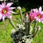 Род кактусов Вилкоксия (Wilcoxia). Описание видов с фото
