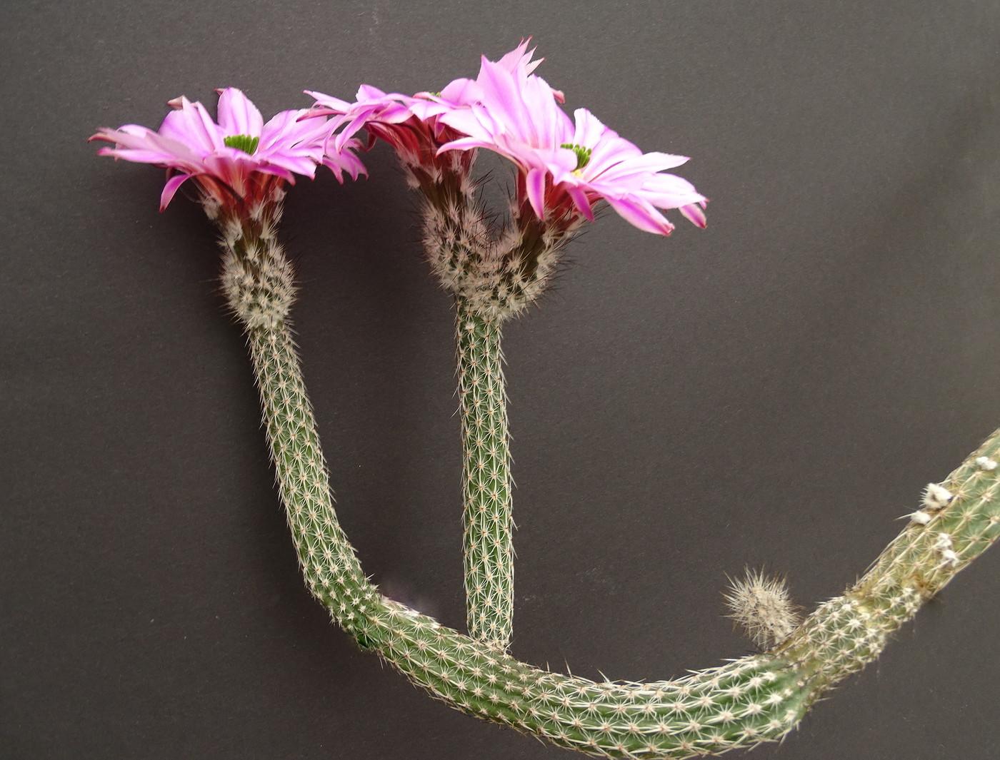 Вилкоксия змеевидная (Wilcoxia viperina)