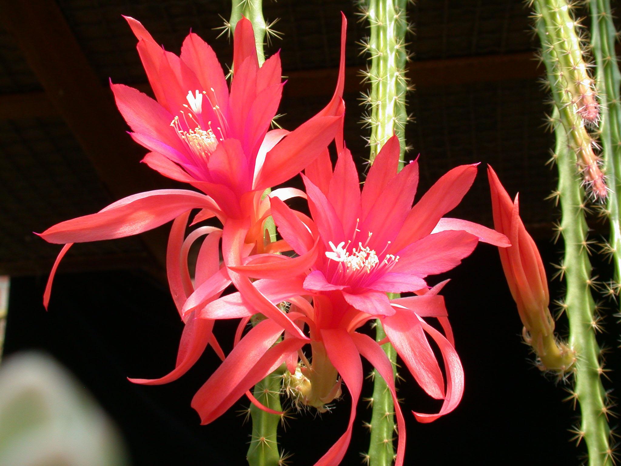 Aporocactus (Апорокактус)