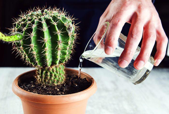 Чрезмерный полив кактусов