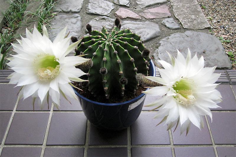 Эхинопсис Эйриеза (Echinopsis eyriesii)