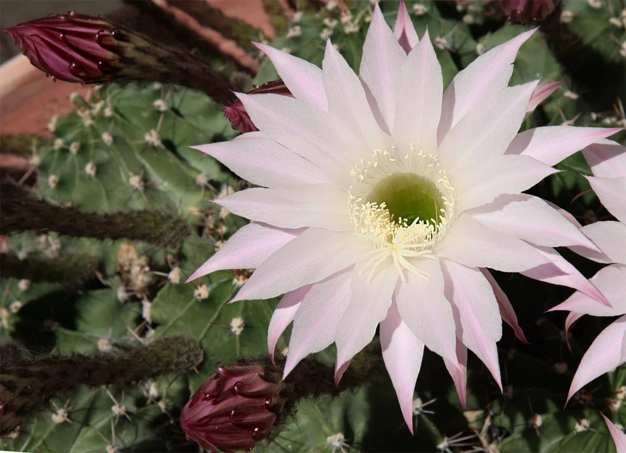 Эхинопсис трубкоцветный (Echinopsis tubiflora)