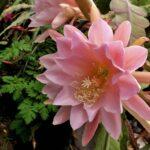 Кактусы рода Эпифиллум (Epiphyllum). Описание, видео
