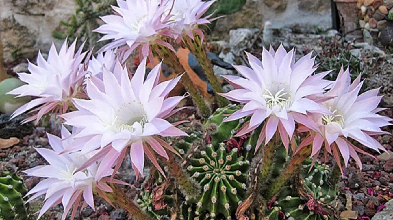 Кактус Эхинопсис (Echinopsis)