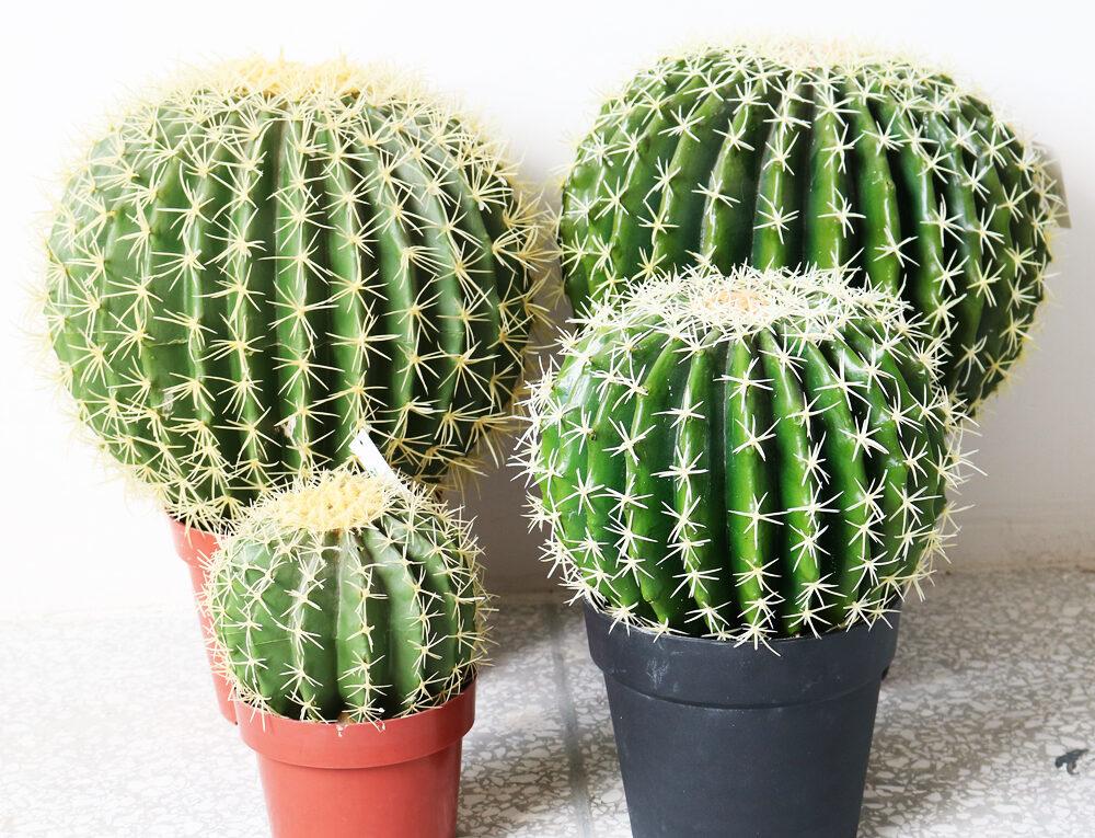 Колючковые (ежеподобные) кактусы