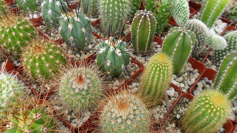 Шаровидные кактусы. Особенности